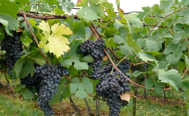 vigne valpolicella anteprima amarone