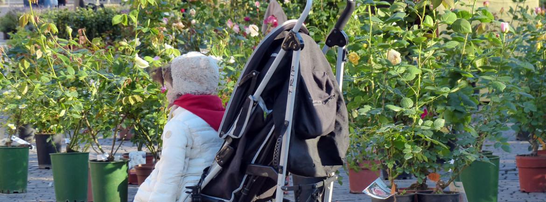 bambina in carrozzina davanti alle rose di verona in fiore in piazza bra