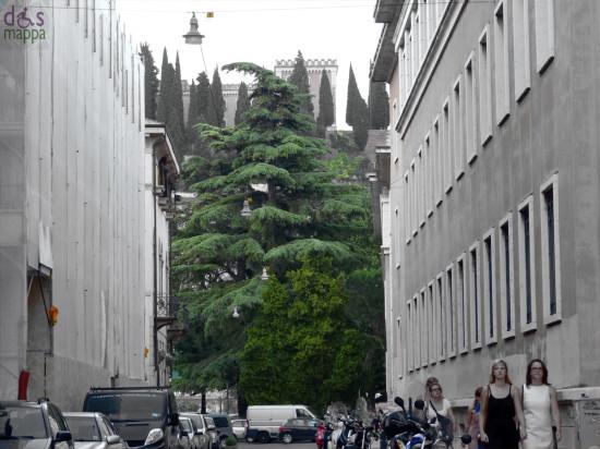 abete pino gigante vicino al liceo classico maffei di Verona