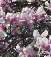 20150323 magnolia