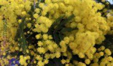 Tempo di mimose